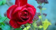 Pixabay-rose